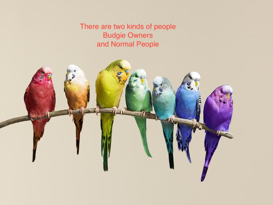 Two Kinds of People – Budgie Owners and Normal People